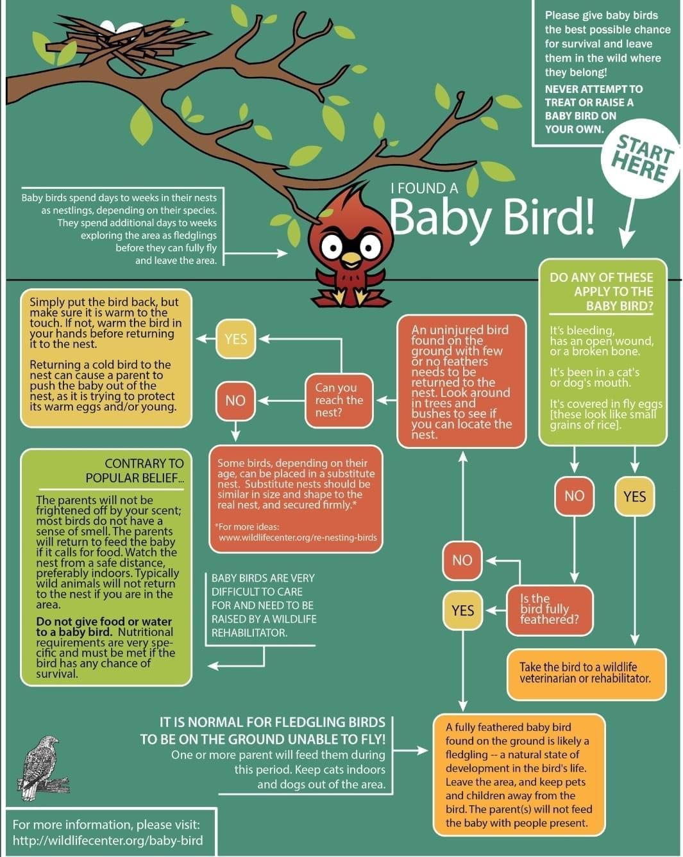 Found baby bird flowchart