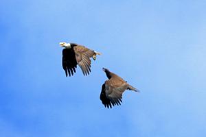 Eagles in Cullinan Park