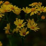 Yellow flowers in Cullinan Park