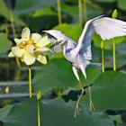 white crane with flower