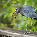 standing bird eating