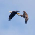 Birds midair flight