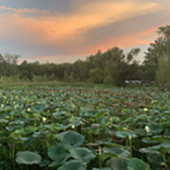 Lily pads covering lake