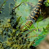 lizard in water