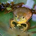 large frog on plants