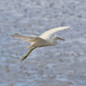 Crane flying